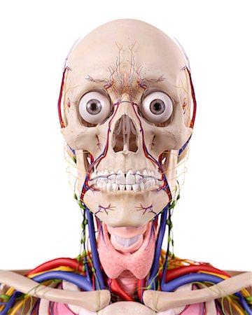 Facial arteries anatomy frontal view Stock Photos - Page 1 : Masterfile