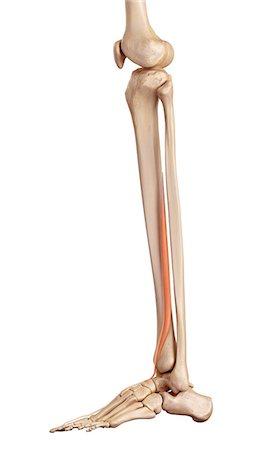 Lower Leg Bones Stock Photos Page 1 Masterfile