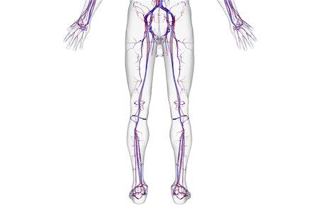Peroneal artery anatomy Stock Photos - Page 1 : Masterfile