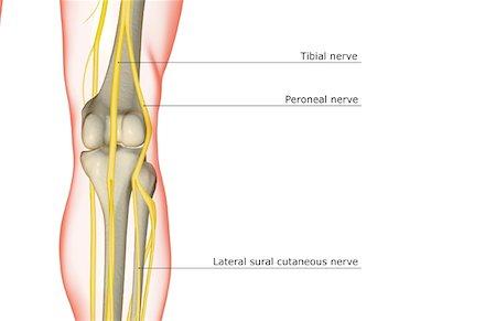 Knee anatomy nerves Stock Photos - Page 1 : Masterfile
