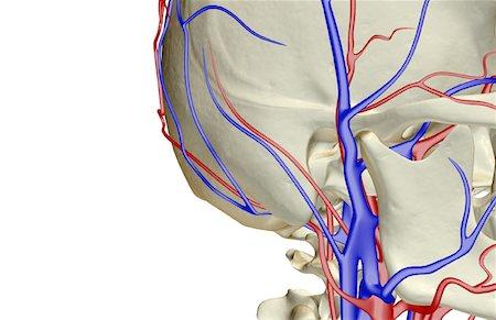 Facial artery and vein Stock Photos - Page 1 : Masterfile