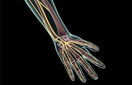 Digital nerves hand anatomy Stock Photos - Page 1 : Masterfile