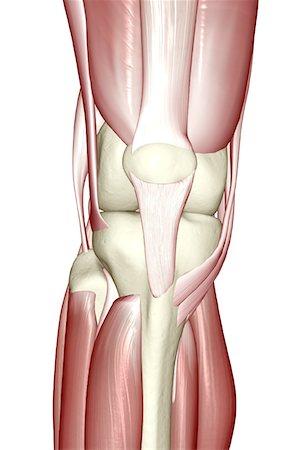 Quadriceps tendon stock photos page 1 masterfile quadriceps tendon the muscles of the knee stock photo premium royalty free ccuart Images