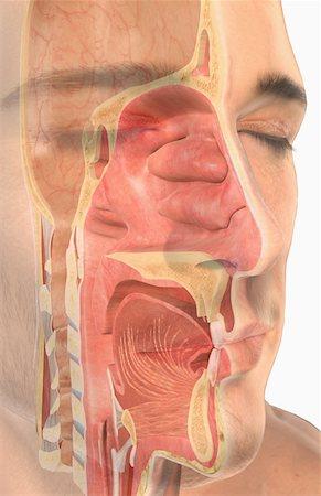 Sinus Anatomy 3d Stock Photos Page 1 Masterfile