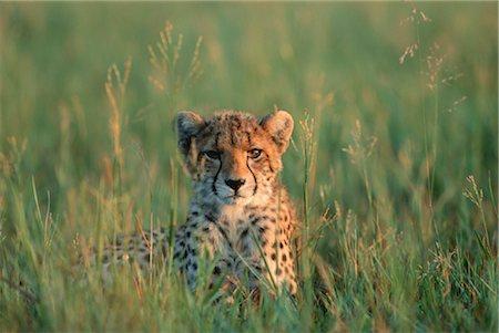 Cheetah Cub Acinonyx Jubatus In Long Grass Okavango Delta
