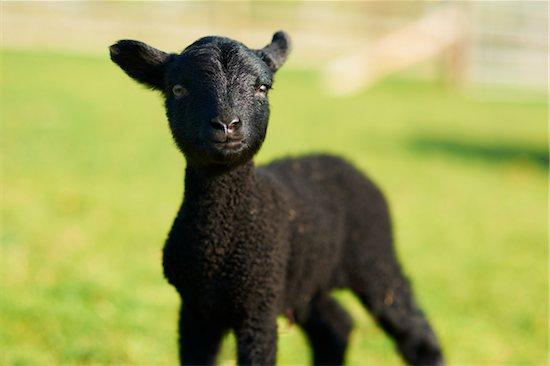 Black Shetland Dwarf Lamb in Field, Cotswolds, Gloucestershire, England, United Kingdom Stock Photo - Premium Rights-Managed, Artist: Tim Hurst, Image code: 700-04625238