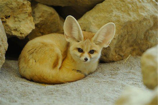 Close-up of a fennec fox (Vulpes zerda) lying near rocks, Zoo Augsburg, Bavaria, Germany. Stock Photo - Premium Rights-Managed, Artist: David & Micha Sheldon, Image code: 700-06773216