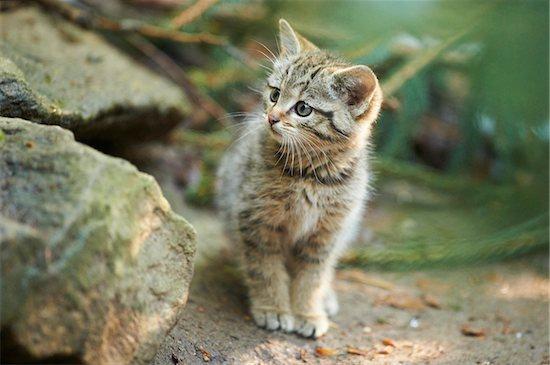 Portrait of European Wildcat (Felis silvestris silvestris) Kitten in Spring in Bavarian Forest, Bavaria, Germany Stock Photo - Premium Rights-Managed, Artist: David & Micha Sheldon, Image code: 700-08547994