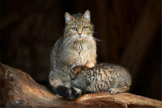 Portrait of European Wildcat (Felis silvestris silvestris) Mother with Kitten in Spring, Bavarian Forest, Bavaria, Gemrany Stock Photo - Premium Rights-Managed, Artist: David & Micha Sheldon, Image code: 700-08547993
