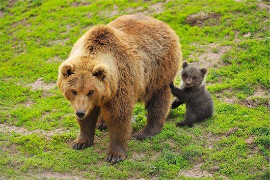 Portrait of Brown Bear (Ursus arctos) Mother with Cub, Germany Stock Photo - Premium Rights-Managed, Artist: Raimund Linke, Image code: 700-08639220