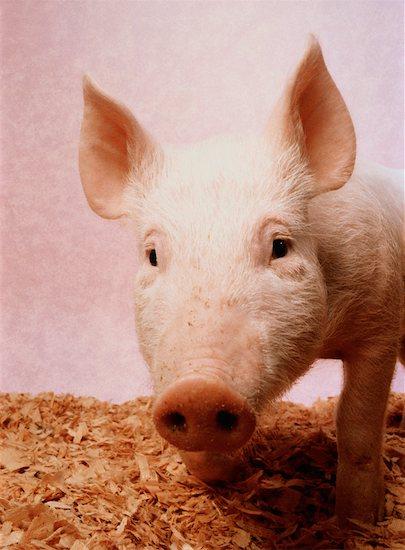 Portrait of Pig Stock Photo - Premium Rights-Managed, Artist: Robert Karpa, Image code: 700-00023304