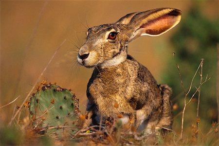 Jack Rabbit Usa >> Jack Rabbit Stock Photos Page 1 Masterfile
