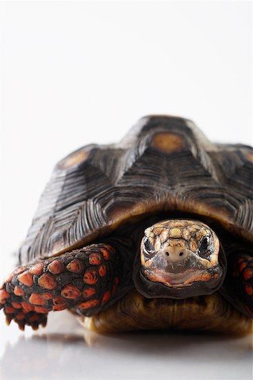 Tortoise Stock Photo - Premium Rights-Managed, Artist: Jerzyworks, Image code: 700-00616647