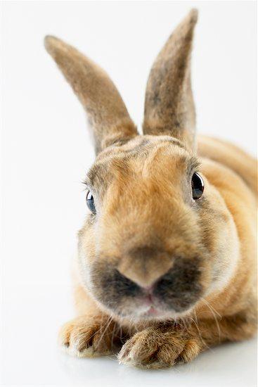 Close-up of Rabbit Stock Photo - Premium Rights-Managed, Artist: Jerzyworks, Image code: 700-00618756