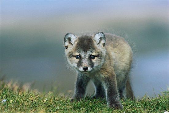 Portrait of Arctic Fox Pup Stock Photo - Premium Rights-Managed, Artist: Chris Hendrickson, Image code: 700-00639591