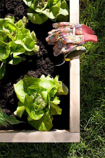 Organic Vegetable Garden Stock Photo - Premium Rights-Managed, Artist: Jennifer Burrell, Image code: 700-02594132
