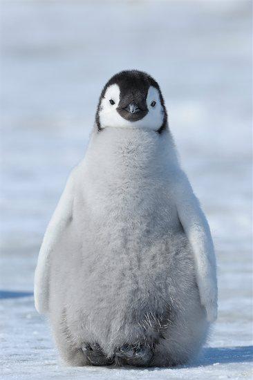 Emperor Penguin, Snow Hill Island, Antarctica Stock Photo - Premium Rights-Managed, Artist: Raimund Linke, Image code: 700-02670605