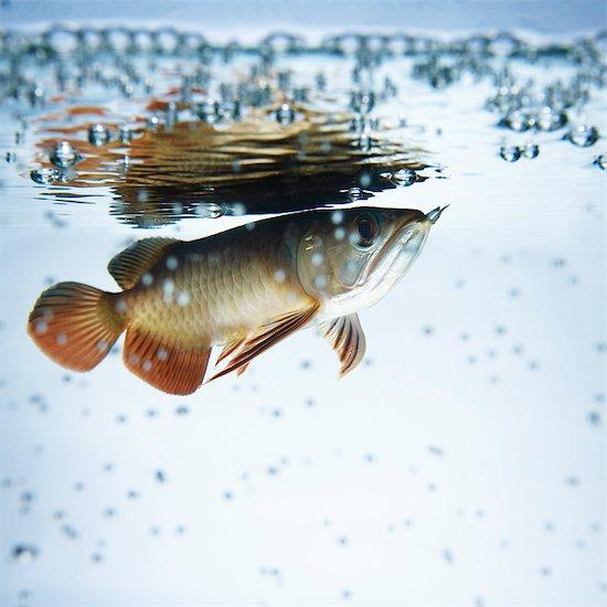 Arowana Fish Stock Photo - Premium Rights-Managed, Artist: Natasha V, Image code: 700-03290131