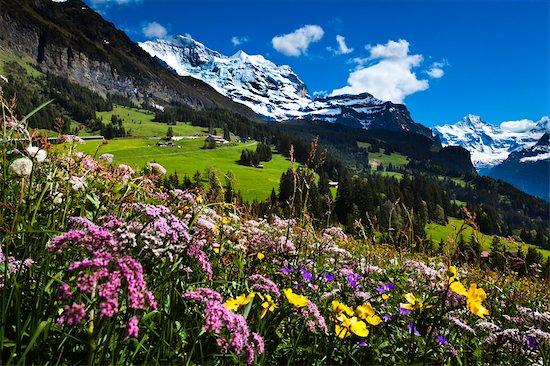 Wildflowers, Jungfrau Region, Bernese Alps, Switzerland Stock Photo - Premium Rights-Managed, Artist: R. Ian Lloyd, Image code: 700-03654546