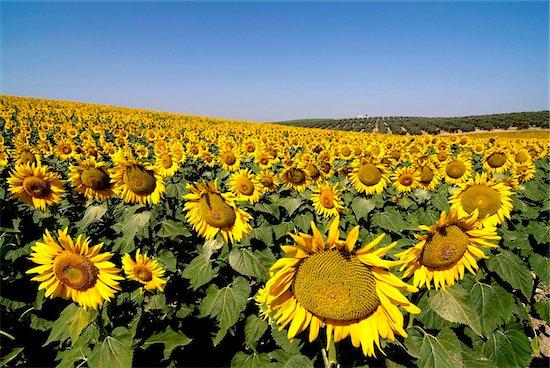 Sunflower field near Cordoba, Andalusia, Spain, Europe Stock Photo - Premium Rights-Managed, Artist: robertharding, Image code: 841-05846036