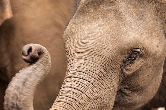 Elephants, Golden Triangle, Thailand, Southeast Asia, Asia Stock Photo - Premium Rights-Managed, Artist: robertharding, Image code: 841-06805884
