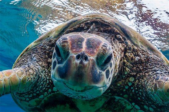 Green sea turtle (Chelonia mydas) underwater, Maui, Hawaii, United States of America, Pacific Stock Photo - Premium Rights-Managed, Artist: robertharding, Image code: 841-07080883