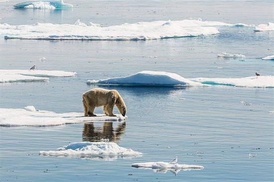 Adult polar bear (Ursus maritimus) on ice floe, Cumberland Peninsula, Baffin Island, Nunavut, Canada, North America Stock Photo - Premium Rights-Managed, Artist: robertharding, Image code: 841-07653019