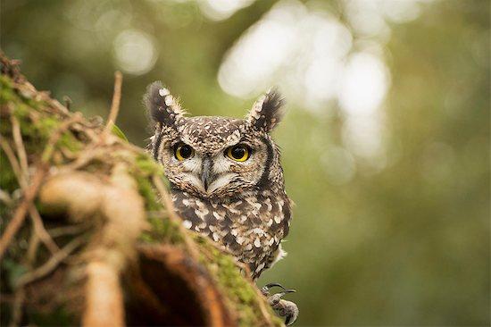 Spotted eagle owl (Bubo africanus), Herefordshire, England, United Kingdom, Europe Stock Photo - Premium Rights-Managed, Artist: robertharding, Image code: 841-08244061