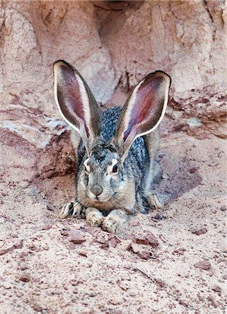 Jack Rabbit Usa >> Desert Jack Rabbit Stock Photos Page 1 Masterfile