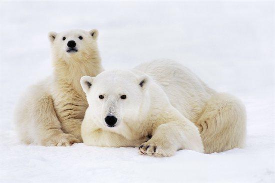 Polar bear with cub, Ursus maritimus, Hudson Bay, Canada Stock Photo - Premium Rights-Managed, Artist: Mint Images, Image code: 878-07590668